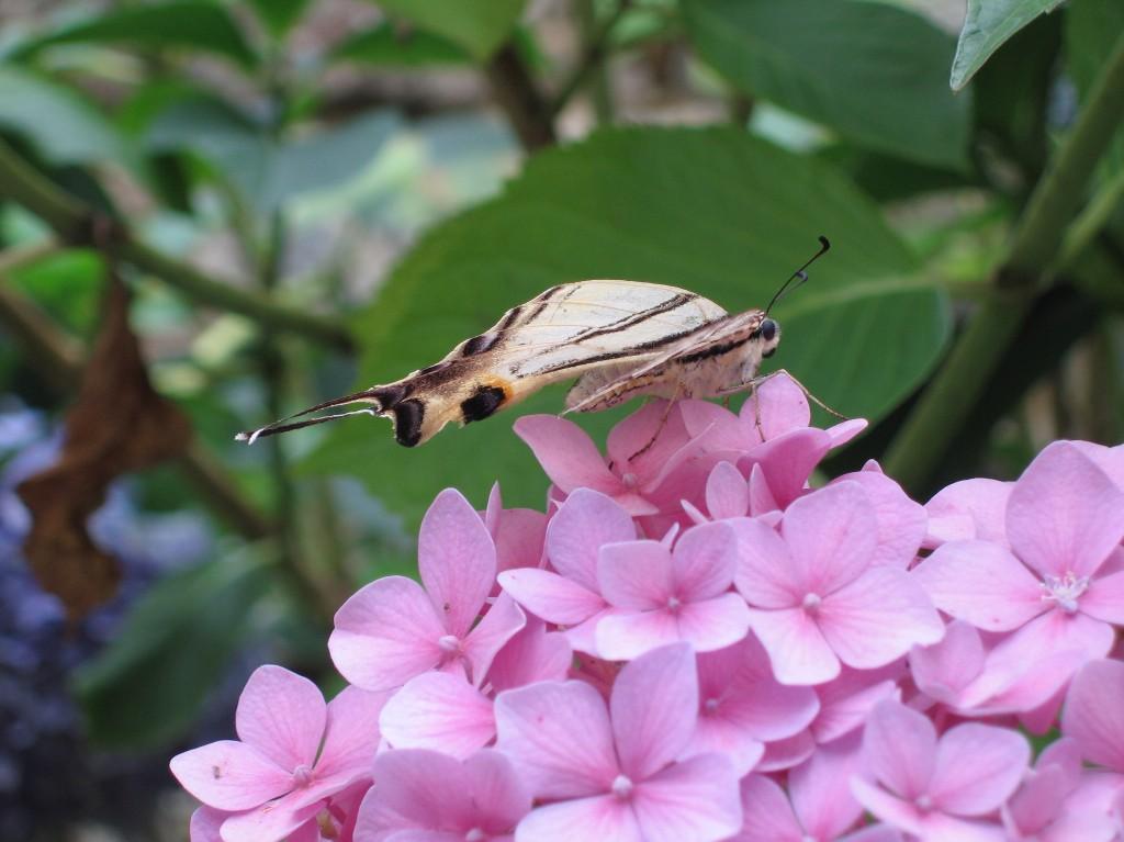 papillon sur hortensia abeilles et petites mains. Black Bedroom Furniture Sets. Home Design Ideas